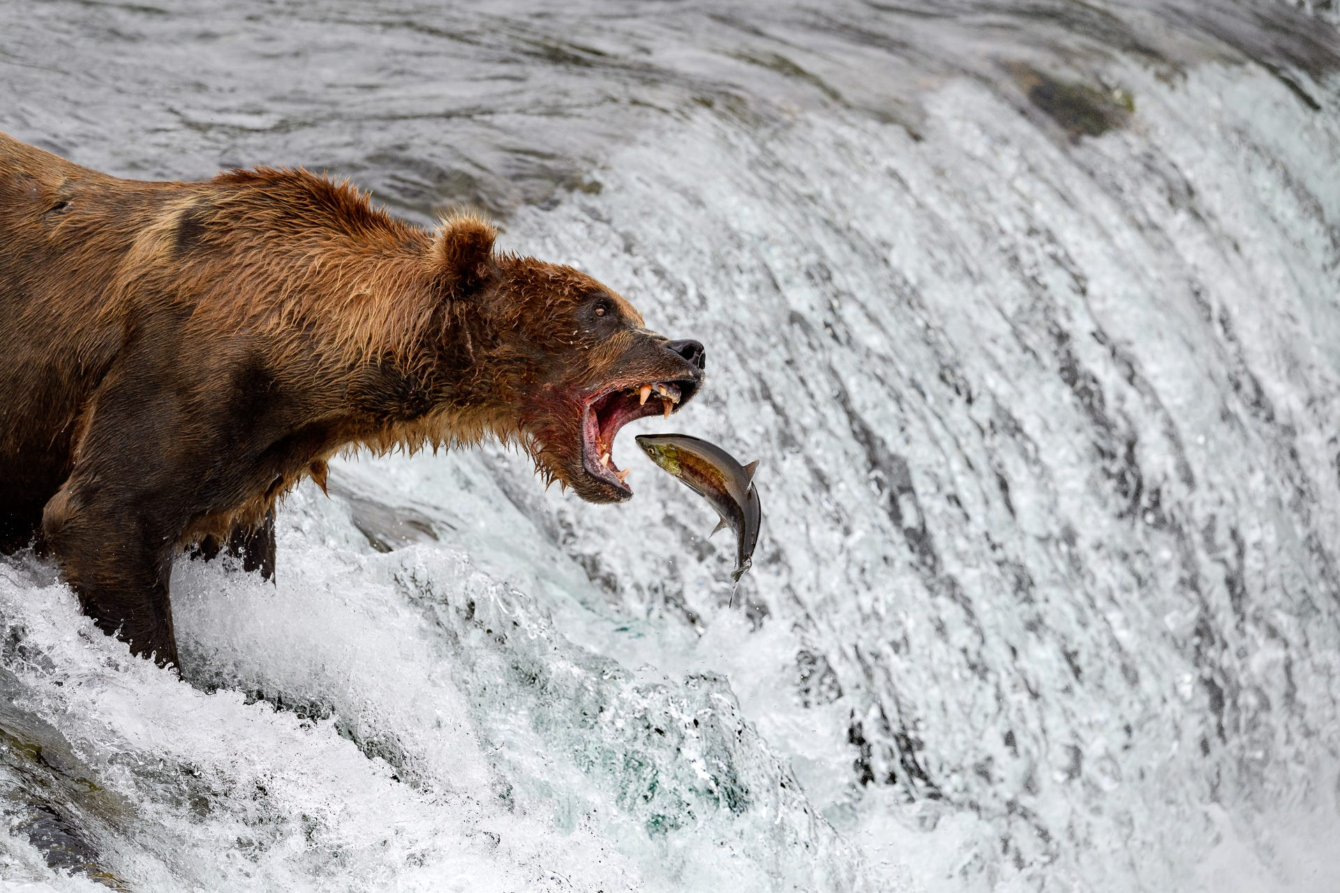 Adventures in photography alaskan grizzly bears with for Bear catching fish