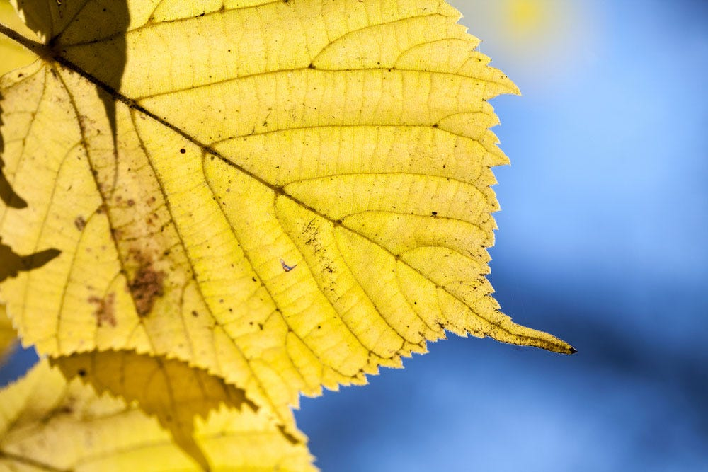 Yellow leaf against a dark blue sky background bokeh