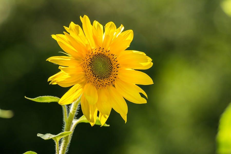 Narrow depth of field shot of sunflower