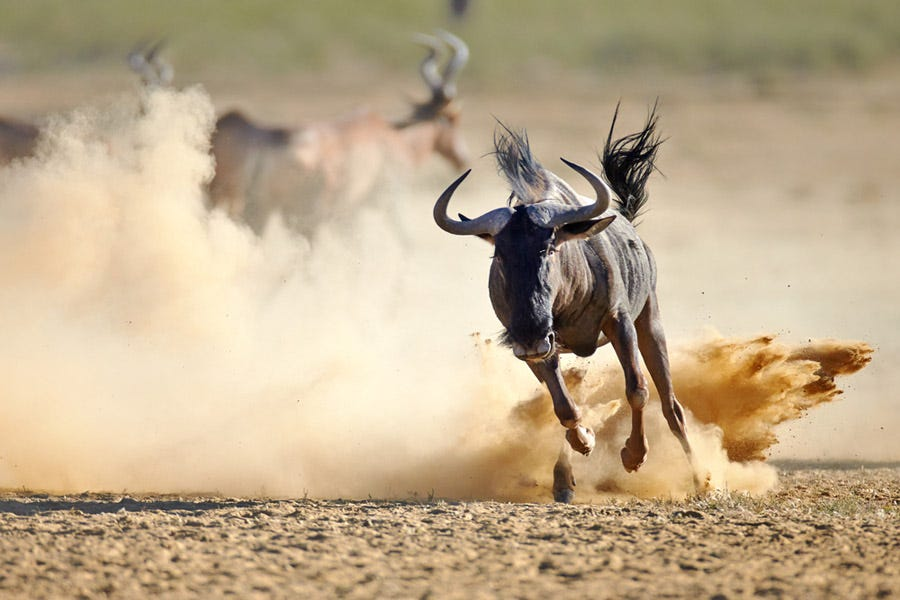 wildbeest running